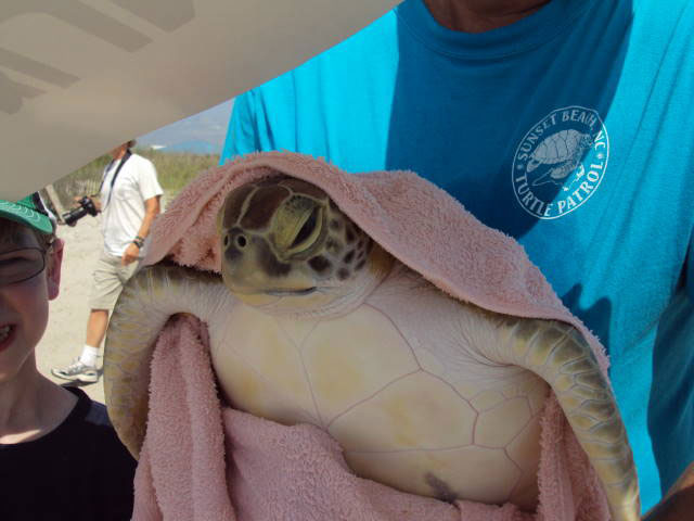 Sea Turtle Release at Topsail Beach