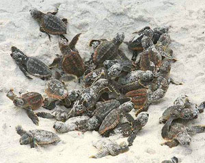 Sea Turtle Boil at Sunset Beach