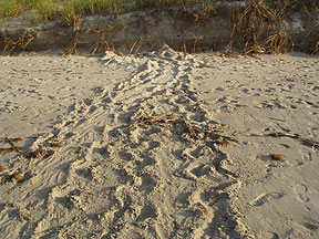 Turtle Tracks - Bird Island