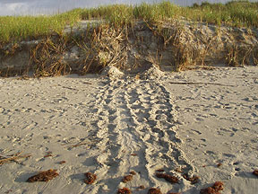 Turtle Tracks - East End